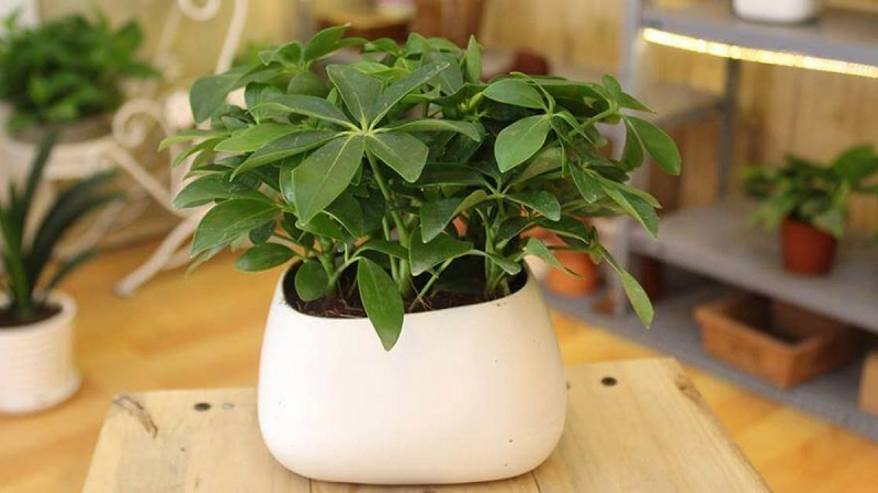 Cây ngũ gia bì là loại cây phong thủy với ý nghĩa mang đến tài lộc, sự phát triển cho gia chủ