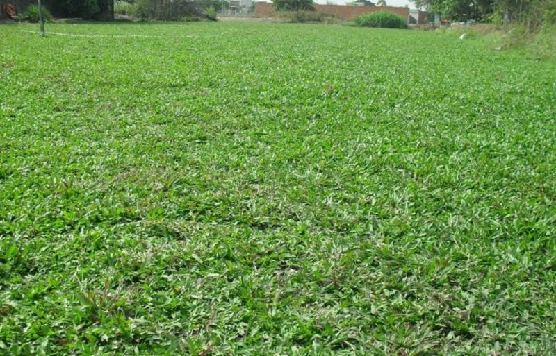 Có lá gừng được trồng chủ yếu để tạo cảnh quan ở những không gian rộng lớn