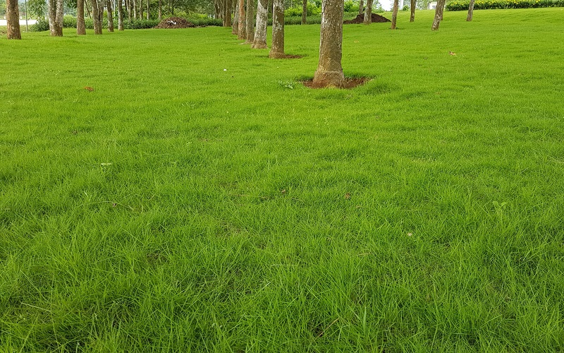 Cỏ nhung Nhật phát triển tốt trong điều kiện đầy đủ ánh nắng