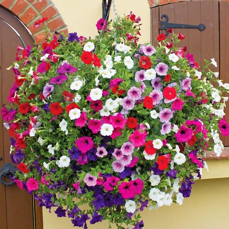 Dạ yến thảo cho ra hoa cực kỳ đẹp mắt với nhiều màu khác nhau