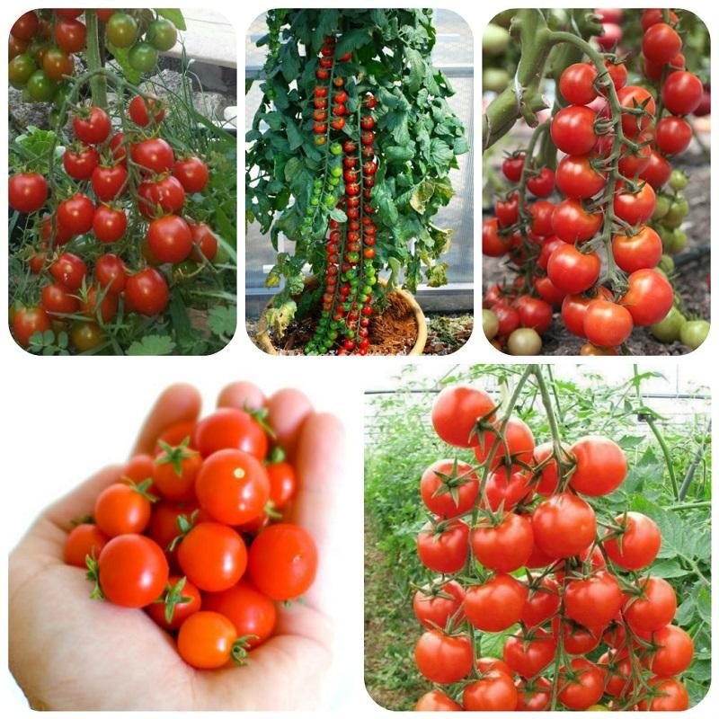 Hạt giống cà chua gồm nhiều chủng loại khác nhau
