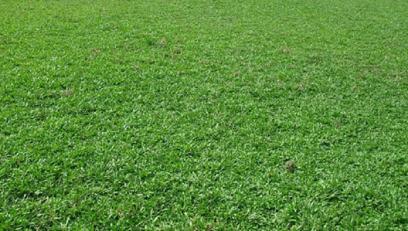Hạt giống cỏ lá gừng tại Vườn Mặt Trời