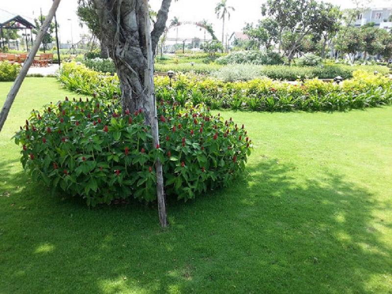 Hạt giống cỏ nhung Nhật tại Vườn mặt Trời