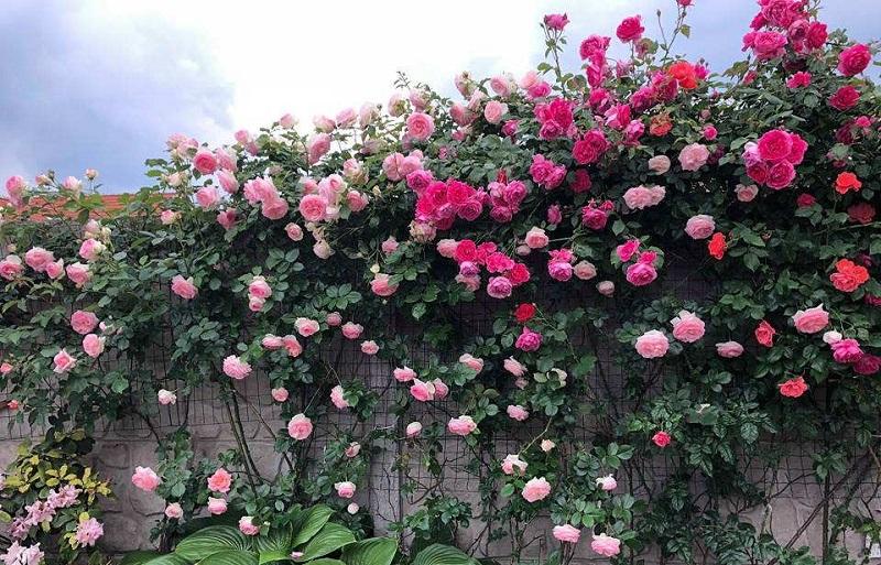 Hạt giống hoa hồng leo được rất nhiều người ưa thích