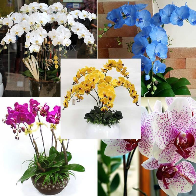 Hạt giống hoa lan hồ điệp được nhiều người lựa chọn