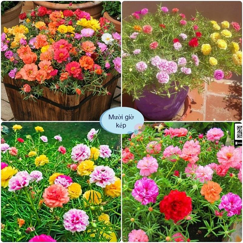 Hạt giống hoa mười giờ dễ trồng, dễ chăm sóc