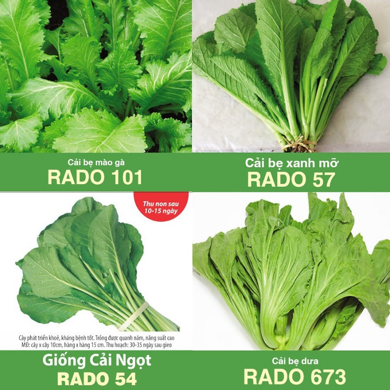 Hạt giống rau cải rất dễ gieo trồng và chăm sóc