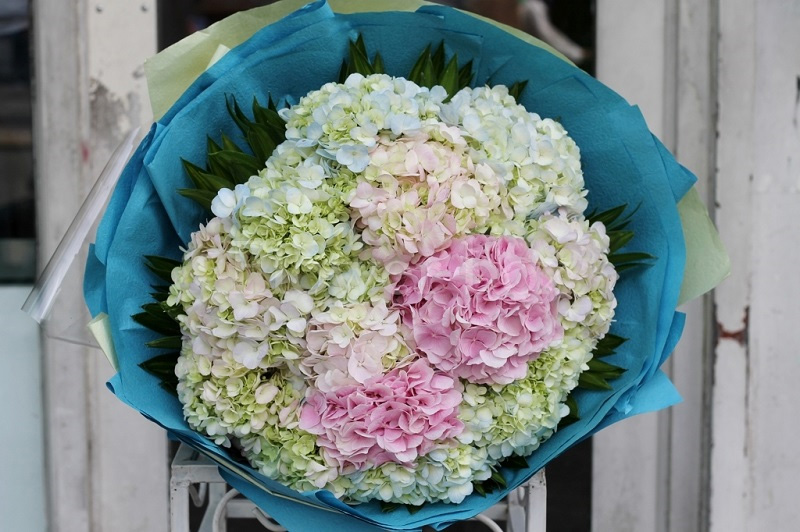 Hoa cẩm tú cầu còn là đại diện của những người sinh vào tháng 2