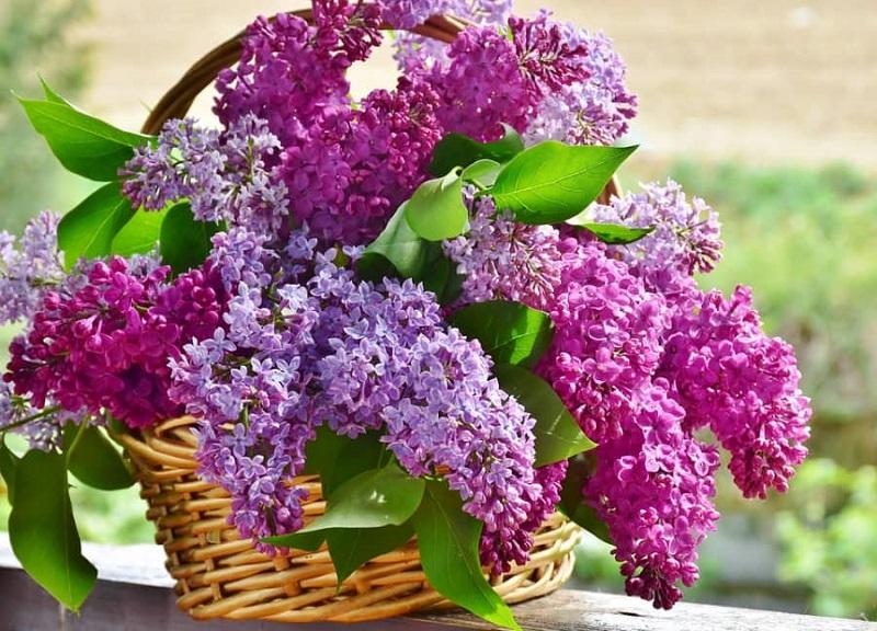 Hoa tử đinh hương là một trong những loài hoa tình yêu đẹp