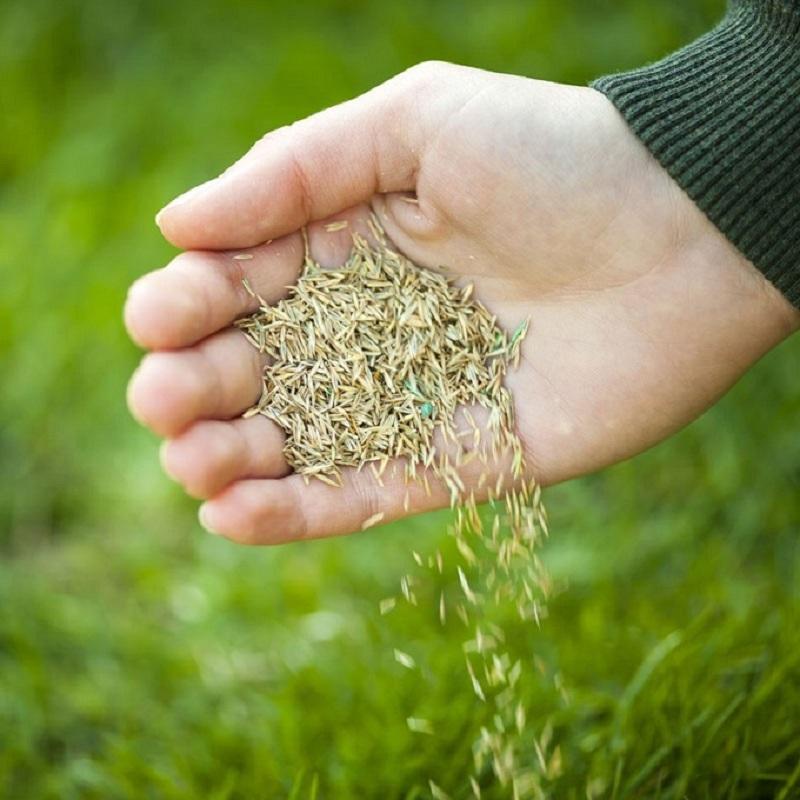Không nên gieo hạt giống cỏ nhung Nhật khi đất quá khô hoặc ngập úng