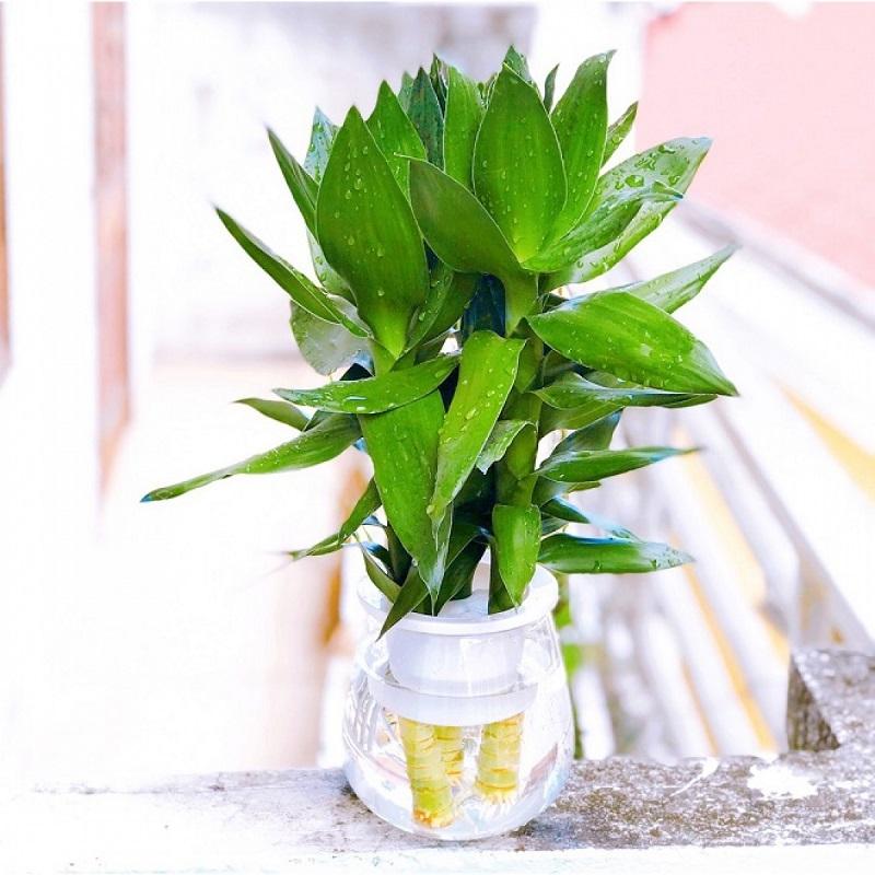 Lựa chọn cây phong thủy trong nhà phù hợp mang đến rất nhiều ý nghĩa tốt đẹp cho gia chủ