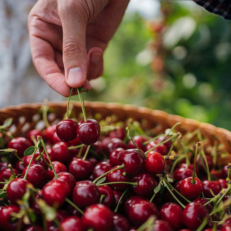 Khám phá công dụng của trái cherry đối với sức khỏe