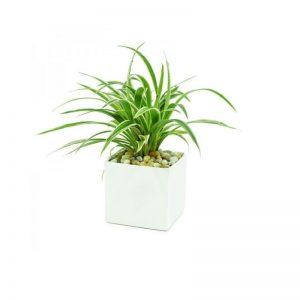 Bạn có thể mua cây Thảo Lan Chi tại shop Vườn Mặt Trời