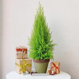 Bạn có thể mua cây tại shop Vườn Mặt Trời