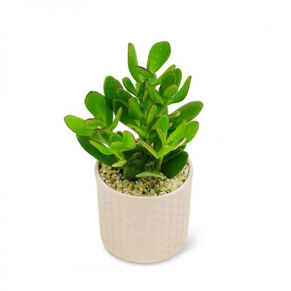 Cây Ngọc Bình là loài cây tượng trưng cho tiền bạc