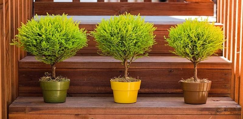 Cây Tùng Thơm hay còn gọi là cây Tùng Hương