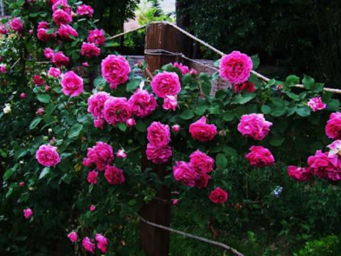 Cây cho ra hoa liên tục