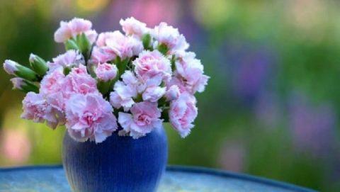 Chậu hoa cẩm chướng