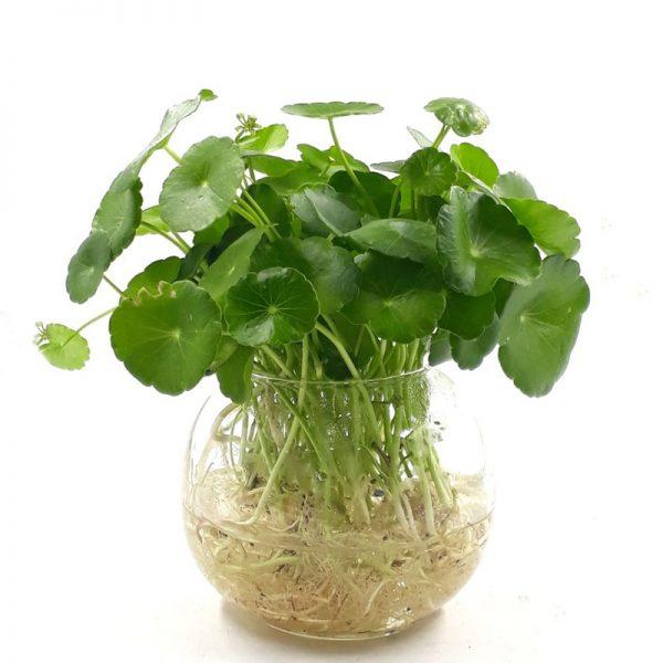 cỏ đồng tiền