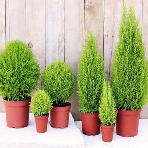 Giá bán cây chỉ giao động khoảng 60.000 – 300.000 đồng