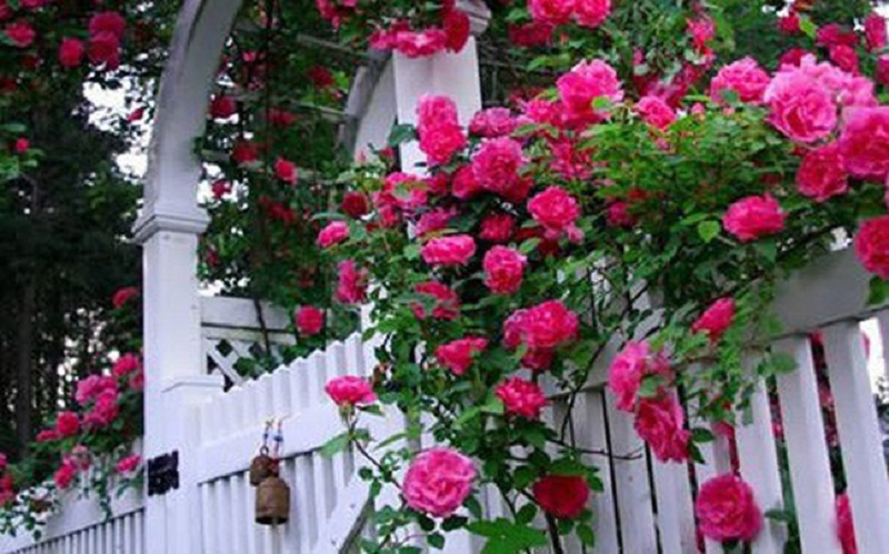 Gốc hoa hồng leo Pháp