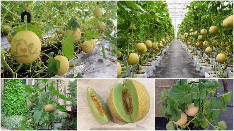 Hạt giống dưa lưới tại Vườn Mặt Trời
