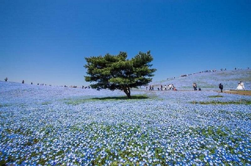 Hoa bi xanh
