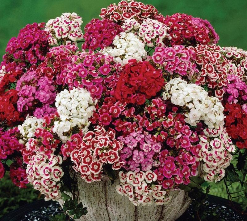 Hoa cẩm chướng tại Vườn Mặt Trời