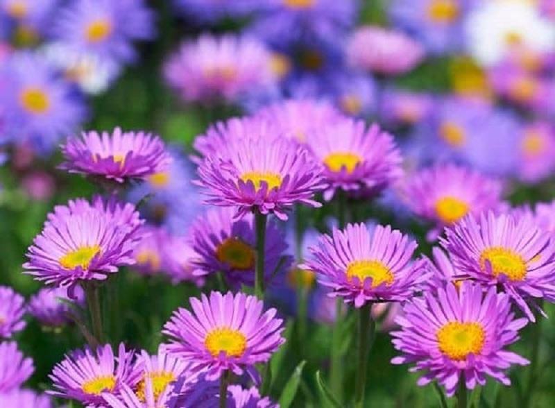 Hoa cúc tím nhỏ