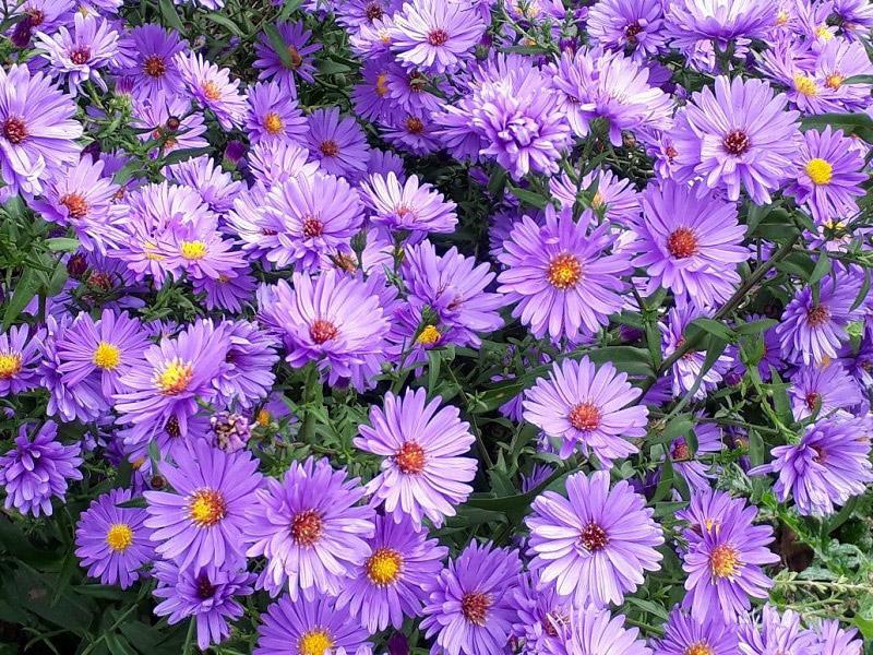 Hoa cúc tím tại Vườn Mặt Trời