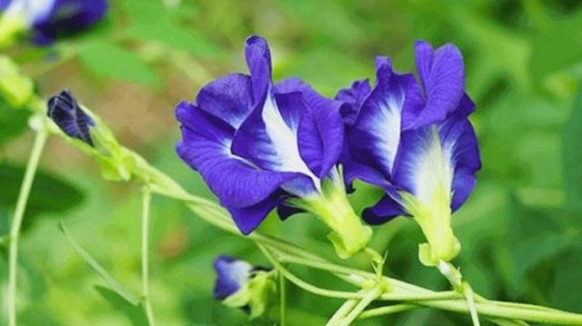 Hoa đậu biếc phô diễn sắc đẹp nhẹ nhàng mà hấp dẫn, nổi bật