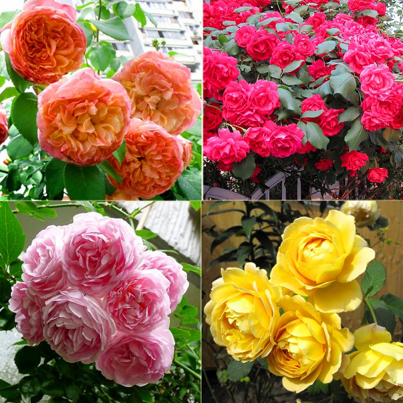 Hoa hồng leo Pháp tại Vườn Mặt Trời