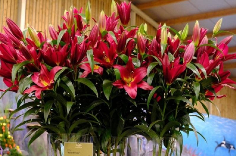 Hoa lily nở đẹp