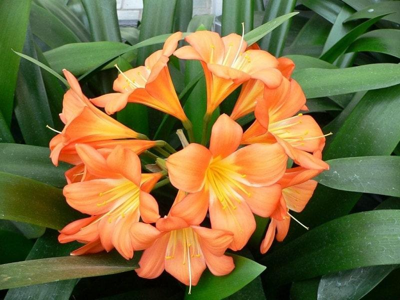 Phương pháp tách thân để gieo trồng sẽ giúp cây mau ra hoa