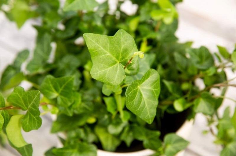 Thường xuân mang đến nhiều may mắn và tài lộc cho người trồng