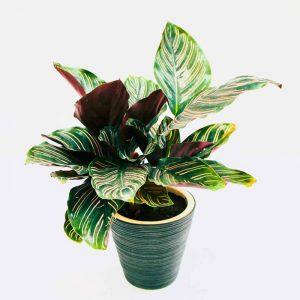 Trông cây Đuôi Công giúp thanh lọc không khí tốt