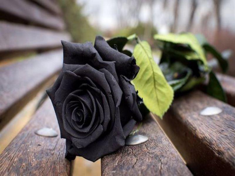 Bông hồng đen có giá bao nhiêu?
