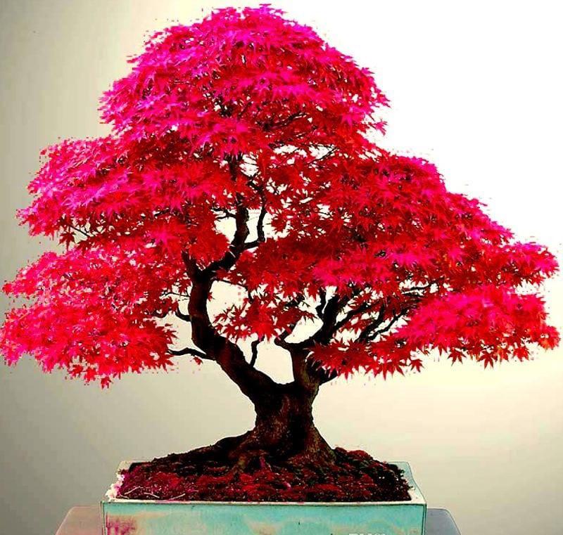 Cây phong lá đỏ có màu đỏ rất đẹp