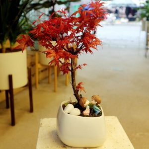 Cây phong lá đỏ làm đẹp không gian