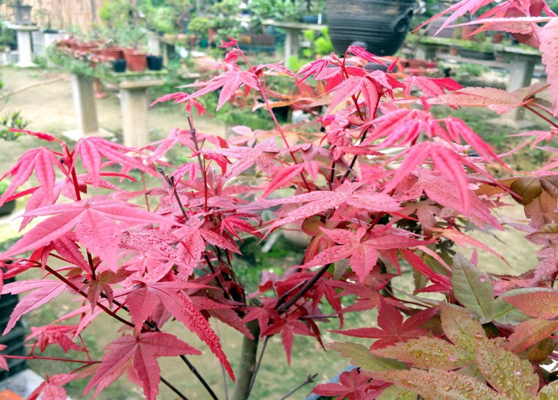 Cây phong lá đỏ thuộc thân gỗ, có lá màu đỏ