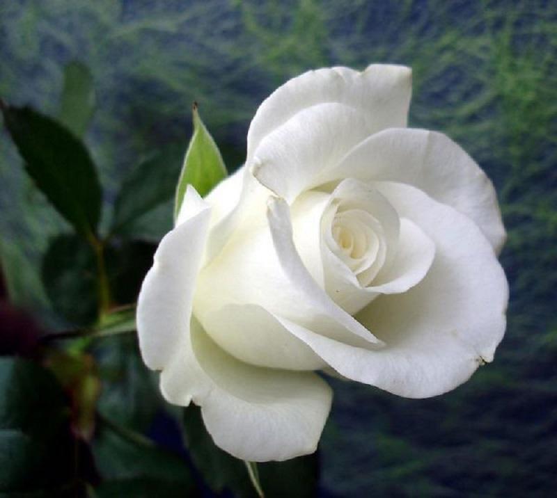 Đặt mua hoa hồng đẹp tại shop uy tín