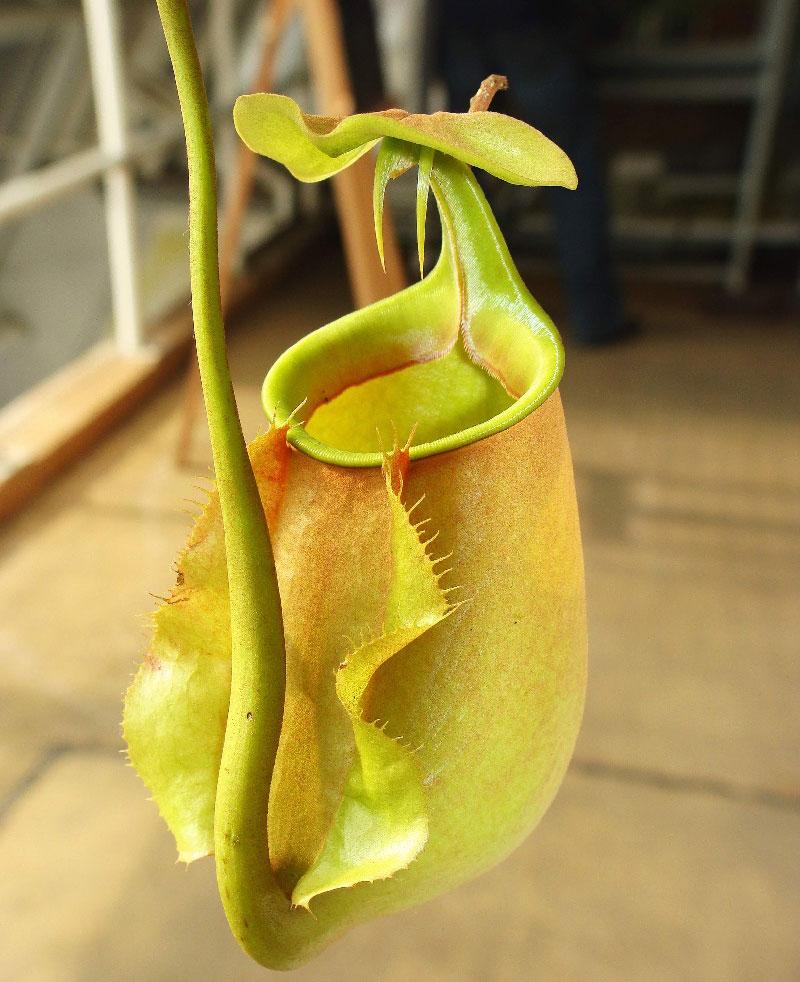 Địa chỉ phân phối cây Nắp Ấm uy tín ở Hà Nội