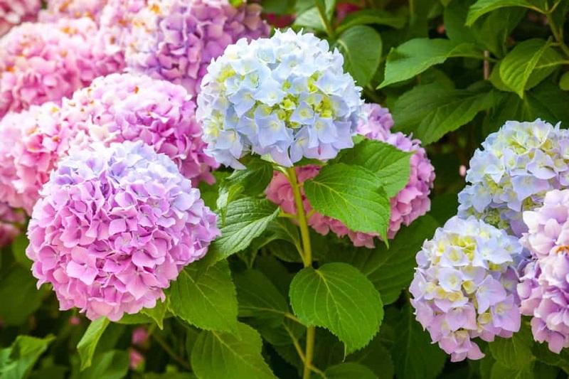 Giá hoa cẩm tú cầu không hề rẻ nhưng chất lượng đảm bảo
