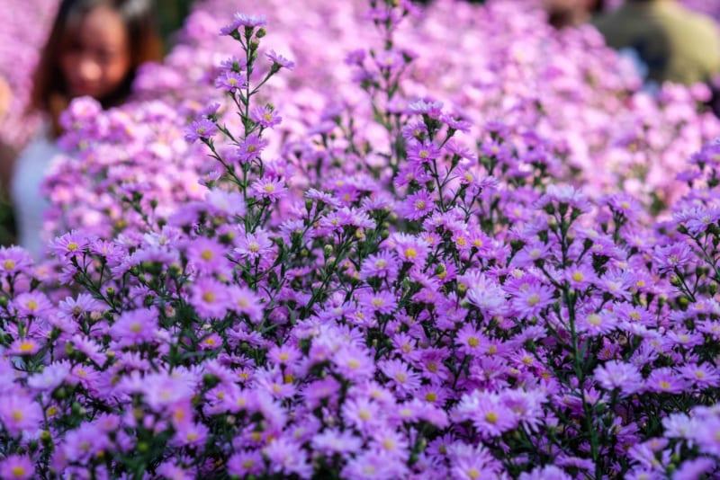 Giá hoa cúc cánh mối trên thị trường tùy vào màu sắc, chất lượng hoa