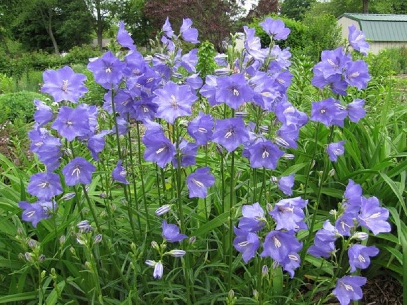 Hình ảnh hoa chuông Serbia sắc tím xanh bắt mắt