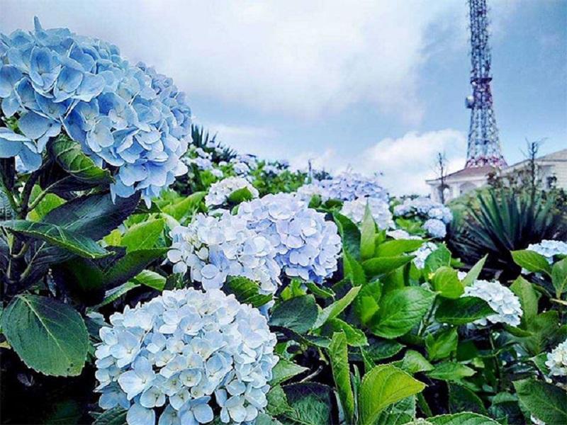 Hoa cẩm tú cầu có nhiều màu sắc đẹp mắt