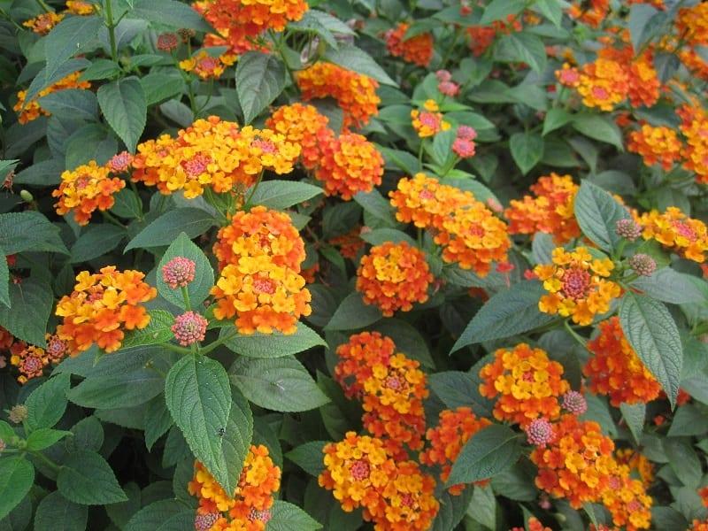Hoa ngũ sắc có tác dụng phòng ngừa sâu bệnh