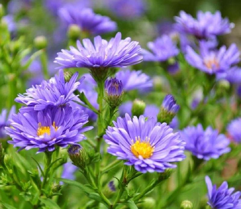 Hoa trồng chủ yếu ở vùng Đà Lạt, phù hợp với khí hậu lạnh