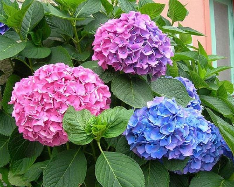 Hoa tú cầu có vẻ đẹp đầy mê hoặc, hấp dẫn mọi ánh nhìn