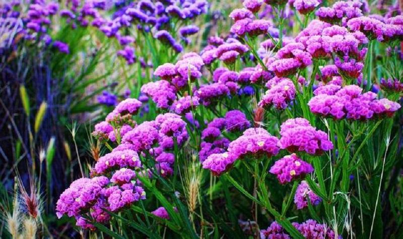Loài hoa được trồng phổ biến tại Việt Nam với đa dạng màu sắc